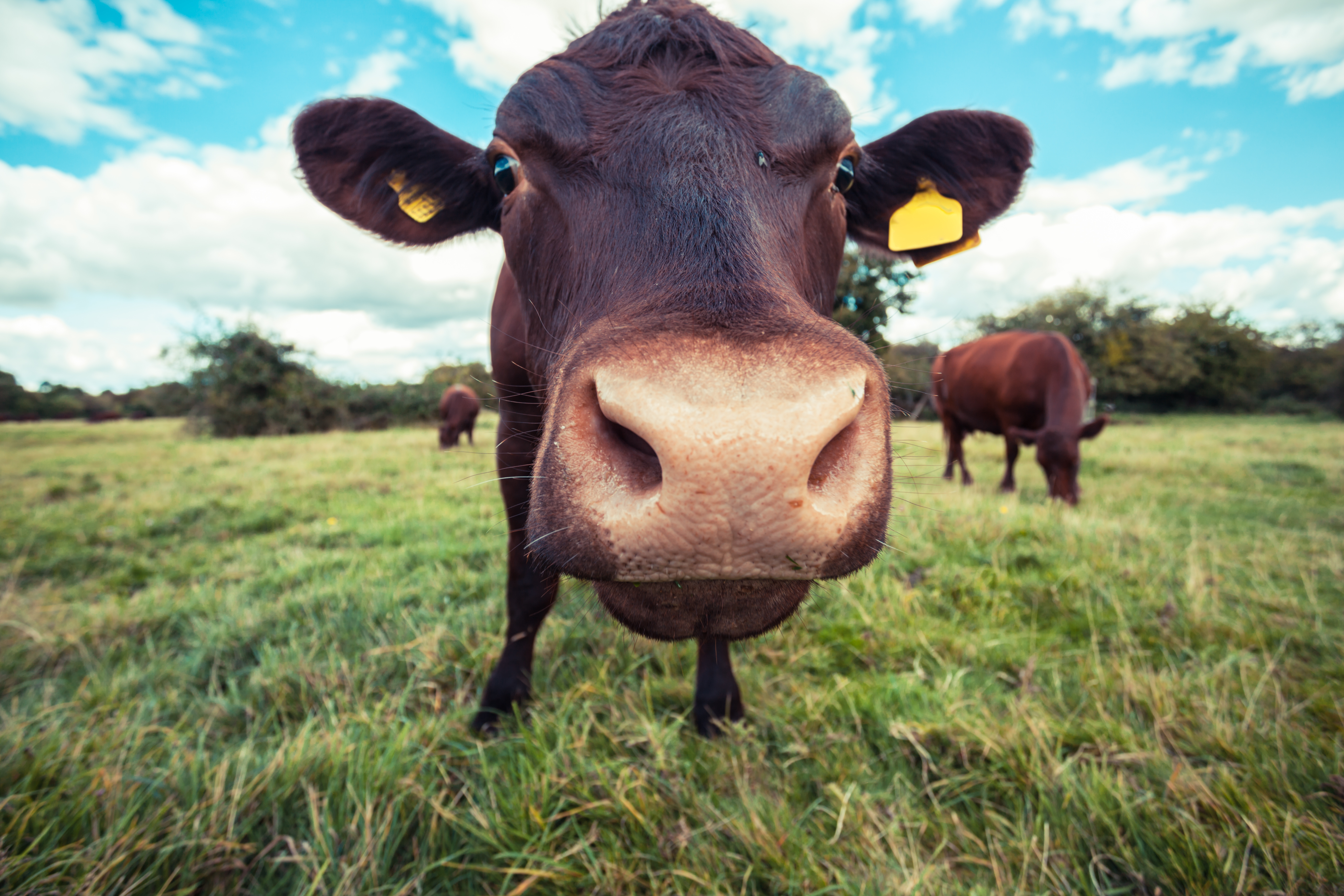 Close up of a brown cow standing in a field